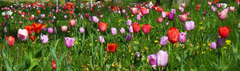Foto van tulpen ter verwelkoming op de website MdZ Translations.nl